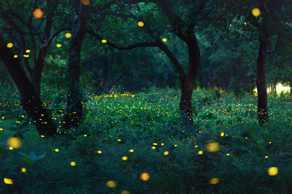 Bokeh light of firefly in forest